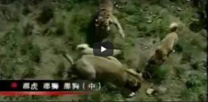 Evo zašto je Kangal najjači pas na svijetu: ne boje se napasti lava i tigra (Video)