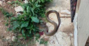 Iskusni zmijolovac otkriva: Zmije se plaše samo jedne stvari, stavite ovo u svoje dvorište i nikada vas zmije neće posjetiti!