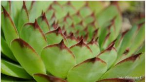 Mnogi veruju da je ovo najlekovitija biljka na svetu: pomaže kod raznih upala i bolova
